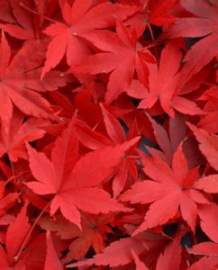 red_leaves_320
