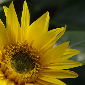 summer_sunflower_300x300